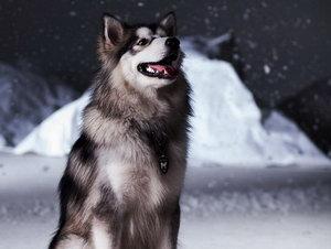 盘点优秀雪橇犬排行,雪橇三傻上榜