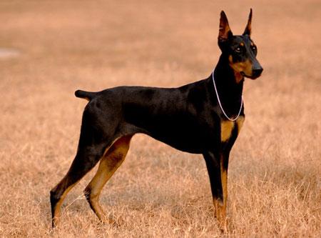 盘点最优秀警犬品种,威武又不失萌属性