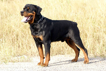 盘点最易训练的狗狗,边牧智商第一