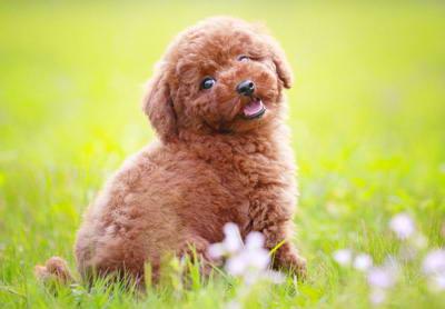 盘点十大最佳伴侣犬,十大最佳家庭伴侣犬排名