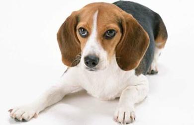 """盘点大耳朵的狗狗有哪些品种,人称'扫地僧"""""""