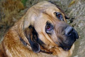 马士提夫獒犬怎么驱虫 马士提夫獒犬驱虫方法