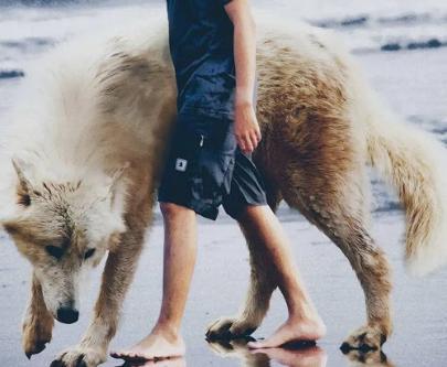 养一只捷克狼犬,是什么体验呢?