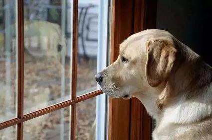 当狗狗被留在家里,唯一能做的事情,就是等待……