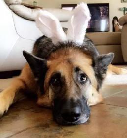 狗狗陪伴主人熬过癌症的折磨,它却不得不进行安乐死