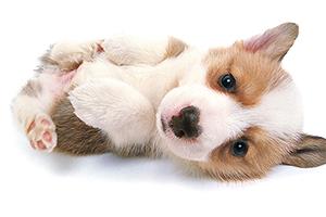 狗狗把肚子翻过来躺地上什么意思