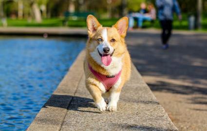 狗狗顺拐正常吗