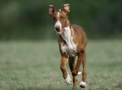 加那利沃伦猎犬