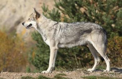 萨卢斯猎狼犬