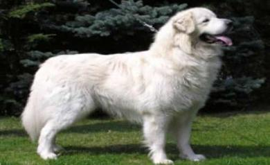 斯洛伐克楚维卡犬