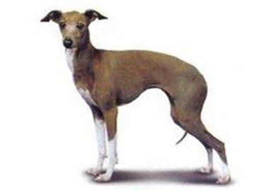 短毛意大利猎犬