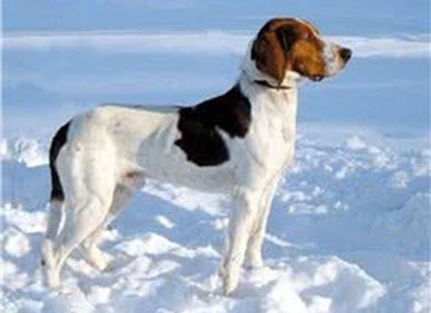 哈尔登猎犬