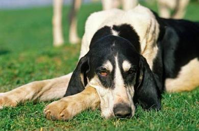 大英法黑白色犬