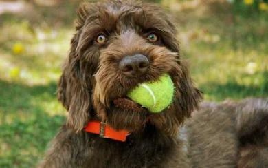 卷毛指示犬
