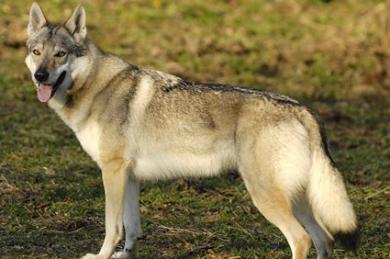 萨尔路斯猎狼犬