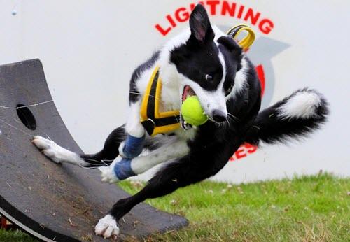 盘点敏捷性最好的狗狗,天生越障高手